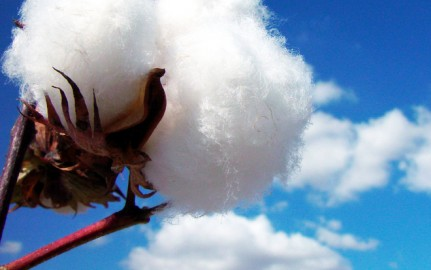 Cotton growing in the wild.