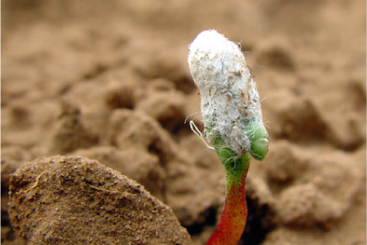gmo cotton seedling